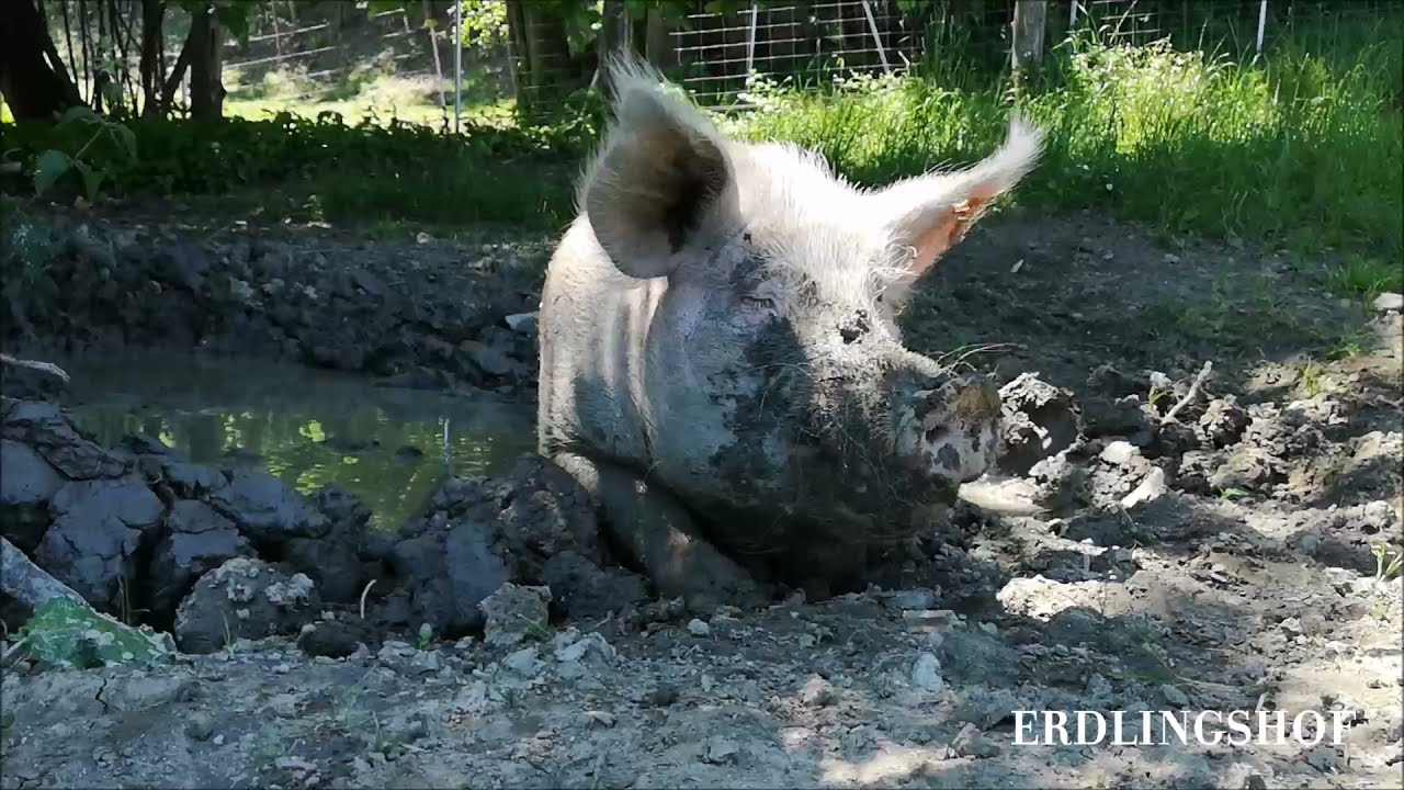 Erdlingshof: Bei Hitze gibt es nur eins für Carsten - ab in die Suhle! 🐷😉