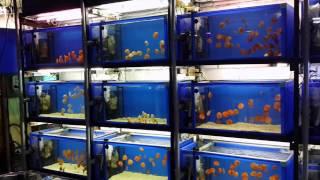 Дискус (Symphysodon discus)(Аквариумный магазин АкваРиф-Шоп. Новое поступление дискусов. В наличии более 40 цветовых вариаций. Дискусы..., 2015-08-24T21:08:53.000Z)