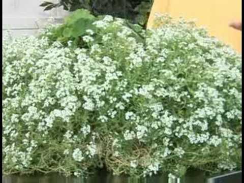 Gardening Plant Care : Alyssum Plant Care