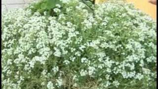 Gardening Plant Care : Alyssum Plant Care
