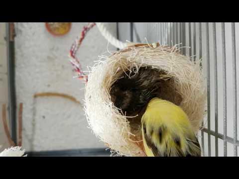 Harzer Roller Henne Mirja und Ihr 15tägiges Küken
