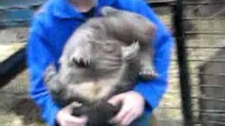 Вомбат - чудо-зверь! (Wombat is funny animal). Почеши вомбата!