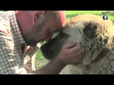 Планета собак. Кыргызский волкодав