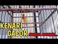 Burung Kenari Gacor Dan Ngeroll Panjang Cocok Untuk Masteran  Mp3 - Mp4 Download