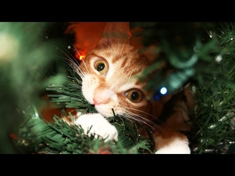 Thumbnail for Cat Video A Cat's Guide to Christmas!