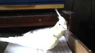 попугай корелла прячется в ящике стола