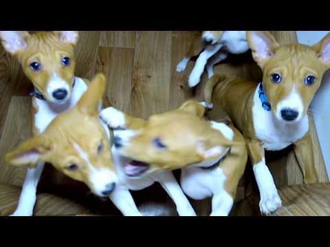 Весёлые щенки БАСЕНДЖИ. (африканская нелающая собака). Funny Basenji puppies.