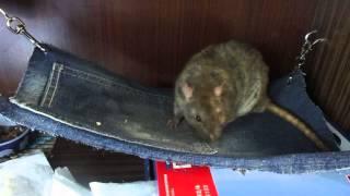 Крысы | Троица (или дикий пасюк).