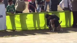 Delhi Dog Show 2 Dec 12 Beagle