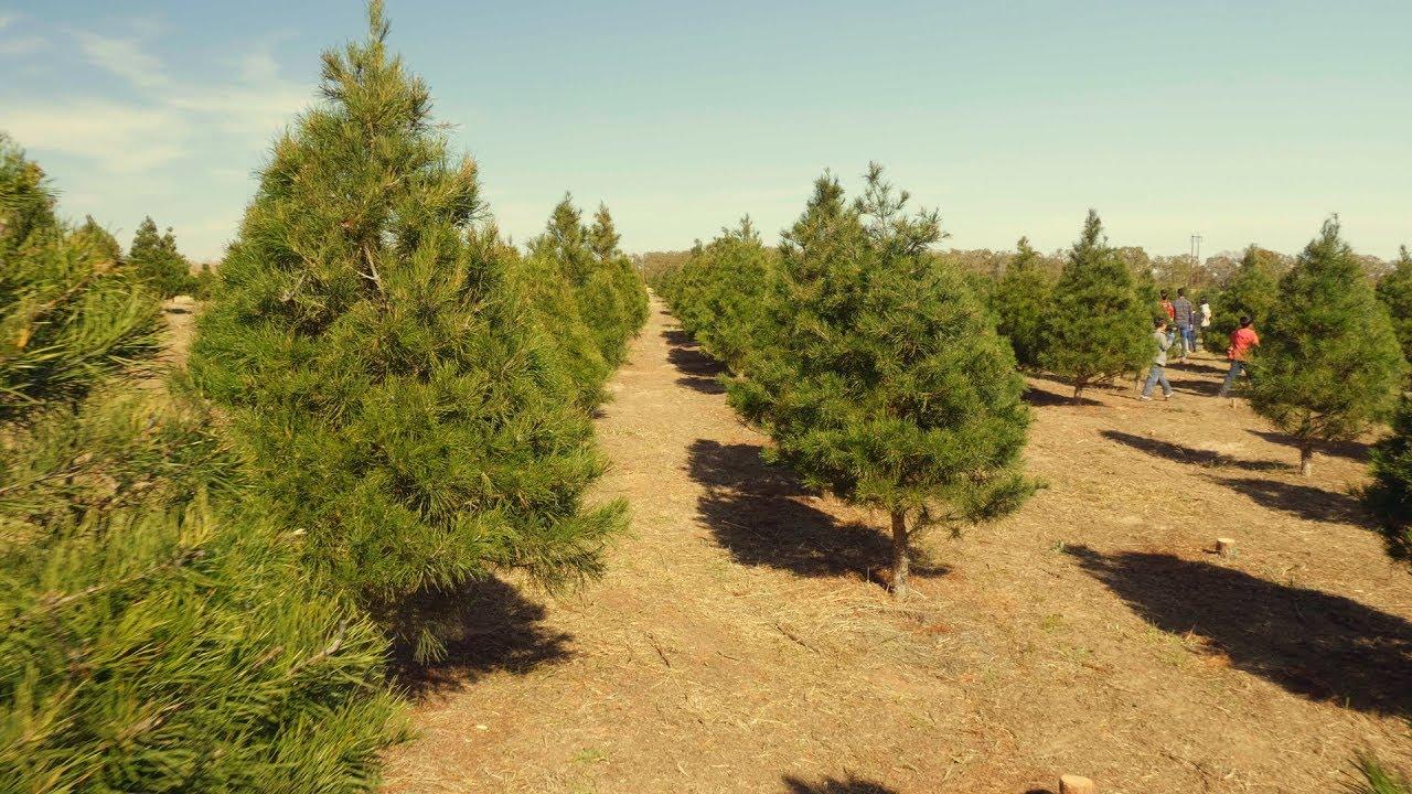 Elgin Christmas Tree Farm.Scott S Christmas Vacation At The Elgin Christmas Tree Farm