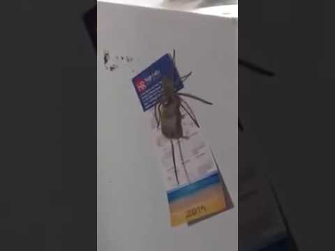Huntsman spider drags mouse to grisly end in central Queensland   ABC News Australian Broadcasting C