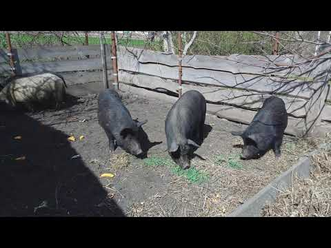 Выгодно ли держать Вьетнамских свиней и  кармалов