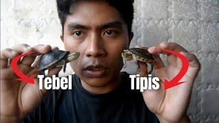 Animal Insight Episode 6 - Perbedaan kura kura ambon ceper dan ambon batok
