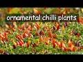 Ornamental chilli plant