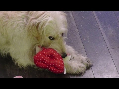 Funny Animals, Goldendoodle. Golden Retriever Mixed Dog ...