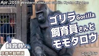 京都市動物園のニシゴリラ モモタロウが飼育員さんとコミュニケーション...