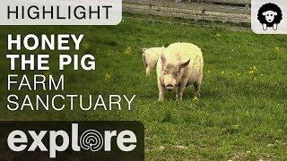 Honey The Pig Takes A Dip - Farm Sanctuary - Live Cam Highlight