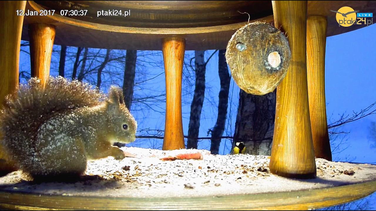 Wiewiórka na śniadaniu w śnieżny poranek w karmniku dla ptaków nad Soliną