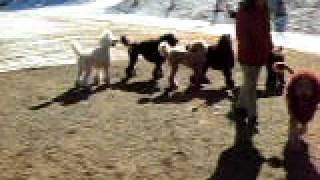 ライオン犬世羅とスタンダードプードルのお友達 The friend of lion dog...