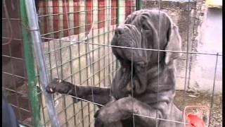 Scampia (NA) - Sequestrato box con cani da combattimento