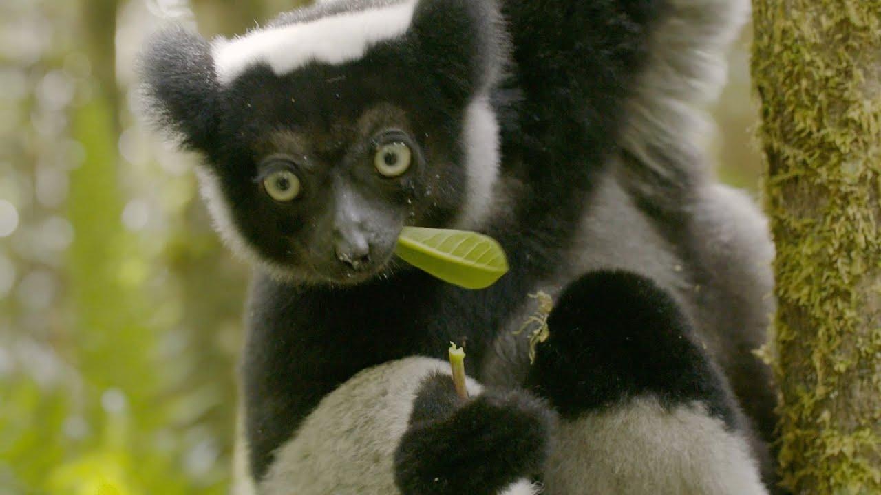Feeding the Lemurs - Nature's Wonderlands: Islands of Evolution - BBC Four