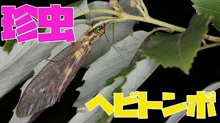 【昆虫】珍虫ヘビトンボ&七色に光るハンミョウ!【初夏】Dobsonfly and Tiger Beetle