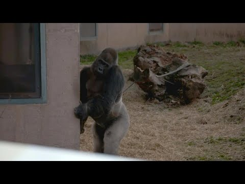 What gorilla's upright walk could tell us about evolution
