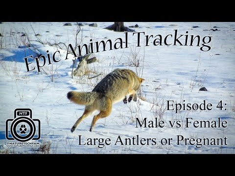 Epic Animal Tracking Episode #4: Male or Female, Lg Antlers, Pregnant