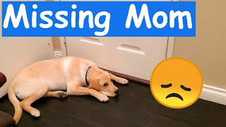 Labrador Missing Human Mom When Left Home Alone with Dad [How We Spent 3 Hours Together]