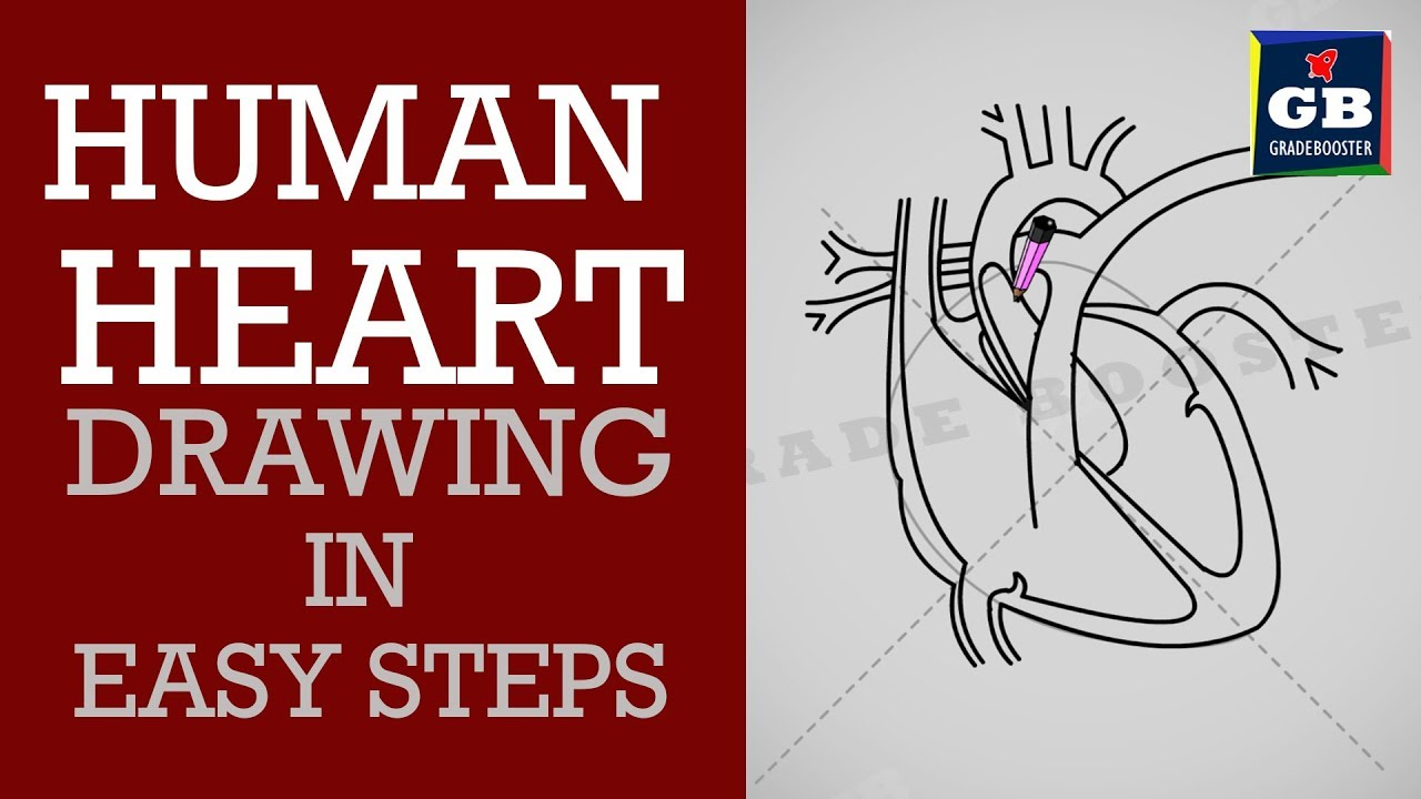 Human Heart Drawing Easy Step By Step