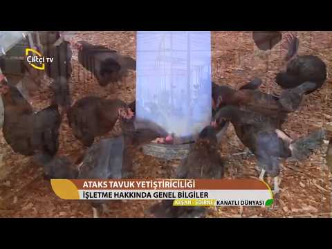 Ataks Tavuk Çiftliği Nasıl Kurulur? /...