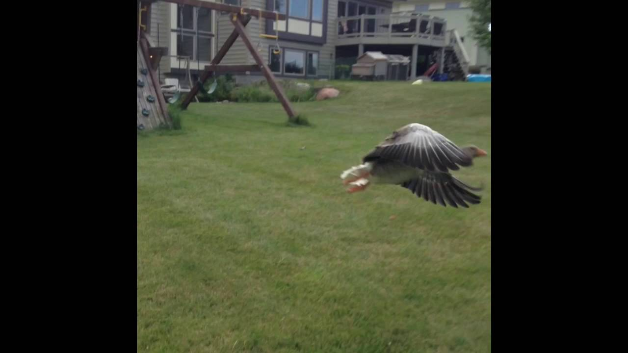 Toulouse Geese Flying