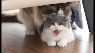 What to do if a cat estrus mating?The blueandwhite cat's sound is so tragic,Too fierce to separate