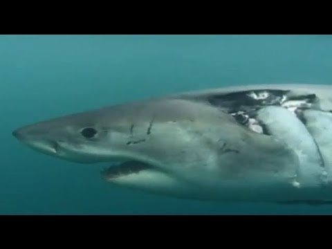 White Sharks Outside the Cage