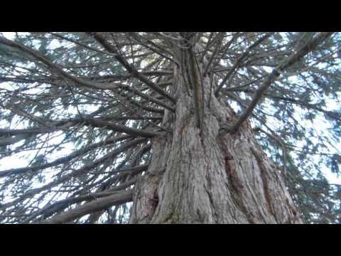 Giant redwood (Sequoiadendron giganteum )