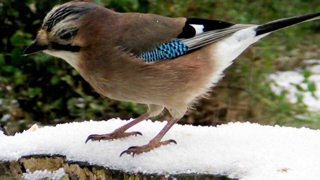 Eurasian Jay Bird at Tehidy Woods in The Snow - Le Geai ...