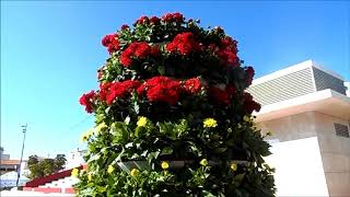 Красные и желтые цветы на площади Испании, Алаурин де ла Торре, военный парад, 16/02/2020