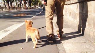 柴犬もも しっぽがダダ下がりのお散歩 My dog is walking with her tail down when 4 months old. thumbnail