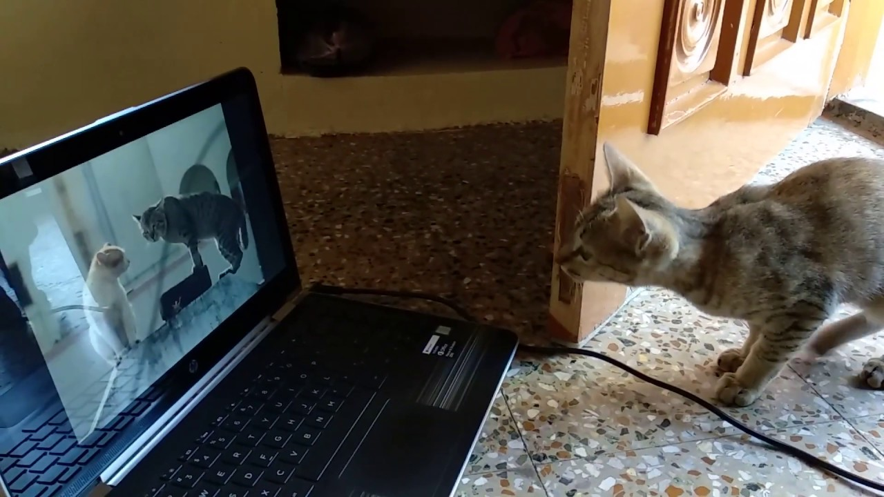 Download Cat watching cat videos on YouTube