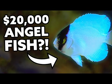 $20,000 Angel Fish Bred In Captivity! [Fincasters]