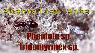 Video Australian Ants: Pheidole sp & Iridomyrmex sp  | GAN Farmer Feature #2 download MP3, 3GP, MP4, WEBM, AVI, FLV November 2017