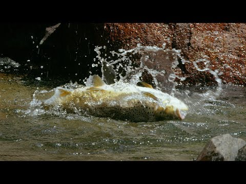 Huge Trout Eats Mice - Wild New Zealand - BBC Earth