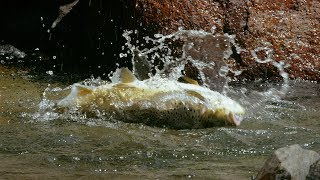 Download Huge Trout Eats Mice | Wild New Zealand | BBC Earth Mp3 and Videos