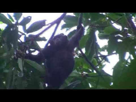 chimpanzees and red colobus at kibale