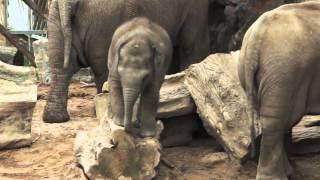 Crying Baby Elephant Stuck On Log