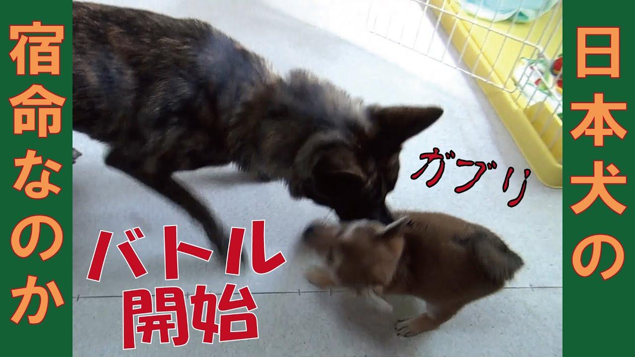 先住犬が子犬を襲う=!【甲斐犬・柴犬】