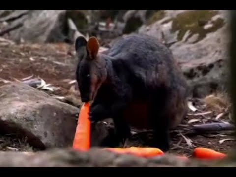 Australia airdrops carrots, sweet potatoes to wallabies in fire-ravaged forests