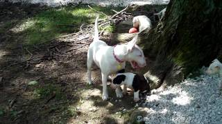 Bull Terrier Puppies For Sale At Redhill Kennel Akc