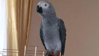Konuşan Jako Papağanı Paşa Konuşmayı Öğreniyor.1 / 4 Aylık hali.