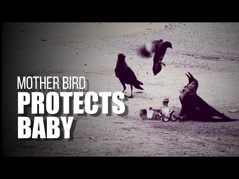 Viral video: Mother bird protects baby from attacking crows